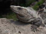 Iguana Tulum